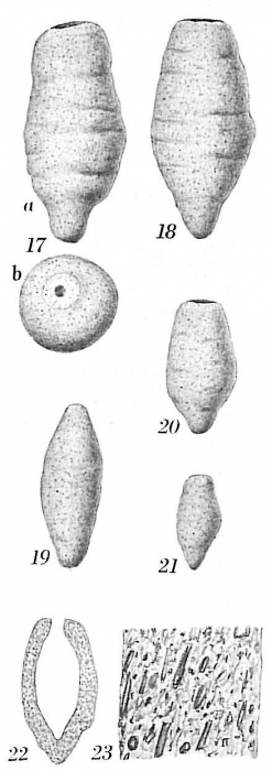 Hippocrepinella acuta