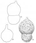 Hormosina globulifera