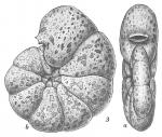 Labrospira jeffreysi