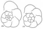 Labrospira kosterensis