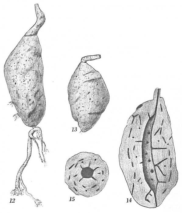 Pelosina fusiformis