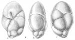 Robertinoides suecicum