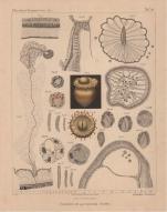 Van Beneden (1897, pl. 15)
