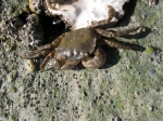 Brush-clawed shore crab - Hemigrapsus takanoi