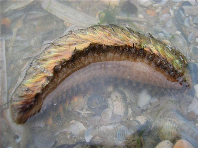Fluwelen zeemuis
