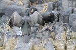 Shag (Phalacrocorax aristotelis)