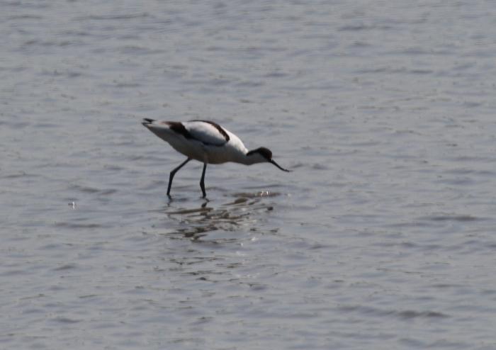 Avocet (Recurvirostra avosetta)