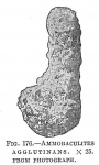 Ammobaculites agglutinans