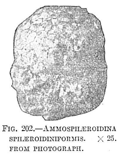 Ammosphaeroidina sphaeroidiniformis