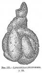 Lituotuba lituiformis