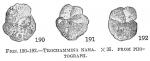 Trochammina nana
