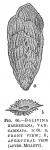 Bolivina karreriana var. carinata