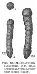 Clavulina parisiensis