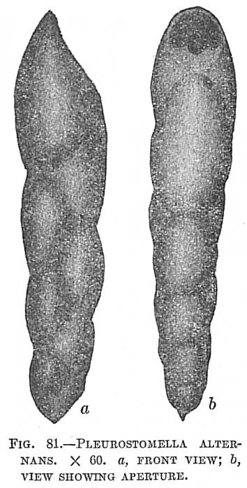 Pleurostomella alternans