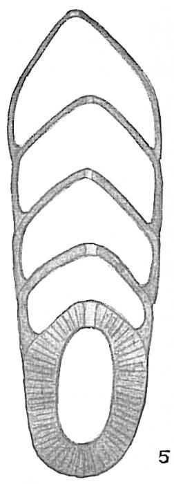 Frondicularia bradyi