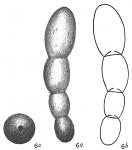 Nodosaria calomorpha
