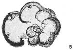 Globigerina aequilateralis