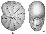 Polystomella striatopunctata