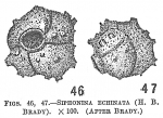 Siphonina echinata