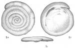 Spirillina guttata