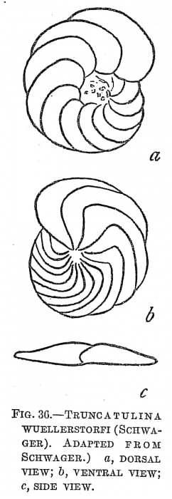 Truncatulina wuellerstorfi