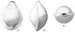Biloculina lucernula