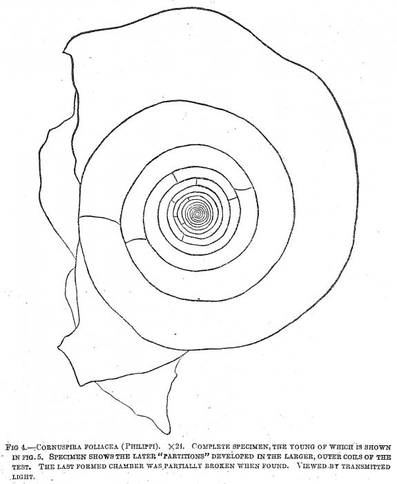 Cornuspira foliacea