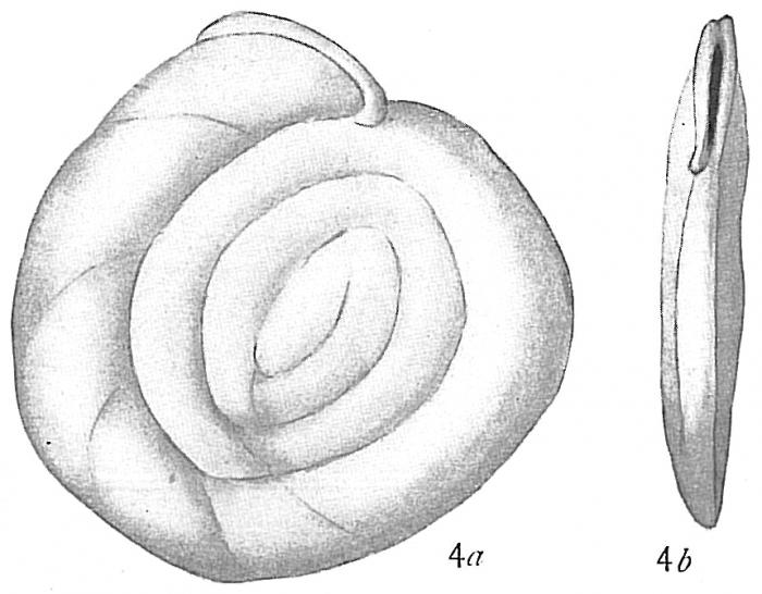 Hauerina fragilissima