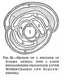Idalina antiqua