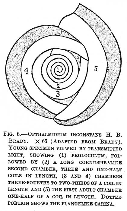 Ophthalmidium inconstans
