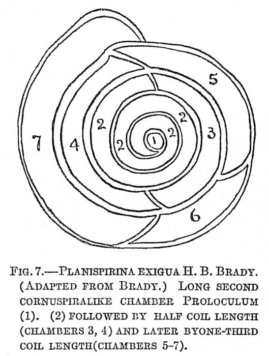 Planispirina exigua
