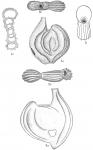 Spiroloculina costifera