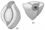 Triloculina terquemiana