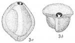 Triloculina trigonula