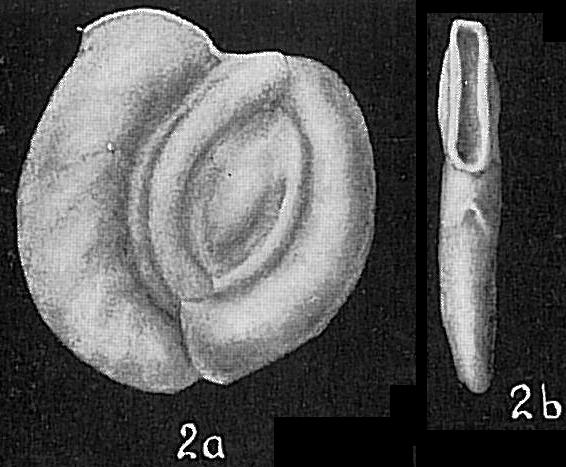 Massilina australis