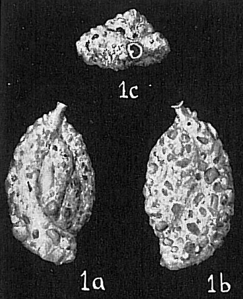 Quinqueloculina anguina agglutinans