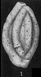 Schlumbergerina alveoliniformis