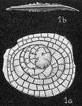 Cycloclypeus guembelianus