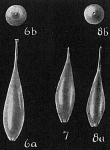 Lagena perlucida sensu Cushman, 1933 = L. clavata setigera Opinion of Whittaker and Hodgkinson (1979)