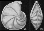 Robulus coloratus