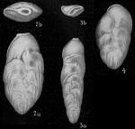 Loxostoma limbatum var. costulatum