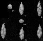 Uvigerina proboscidea vadescens