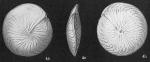 Amphistegina radiata (not lessonii ses note)