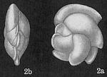 Cassidulina angulosa