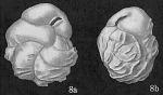 Cassidulina costatula