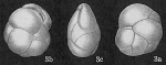 Cassidulina minuta