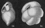 Cassidulina subtumida