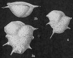 Ehrenbergina reticulata