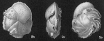 Epistominella tubulifera