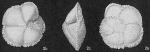 Globorotalia menardii var. fimbriata